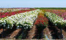 تولید اسانس گل محمدی با کیفیت جهت صادرات