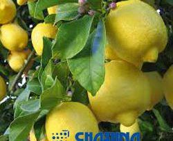 اسانس پودری لیمو