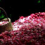 اسانس طبیعی گل محمدی